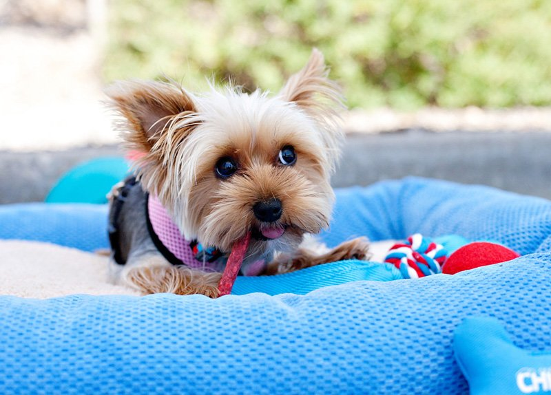 4_cute-yorkshire-terrier